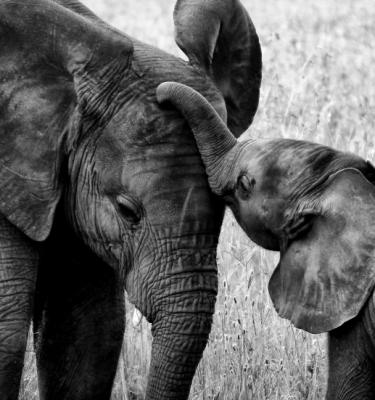 Wildlife art - Affection