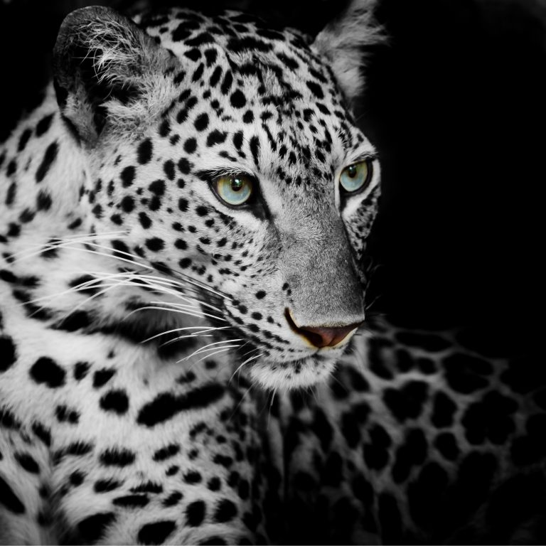 Wildlife art - White beauty