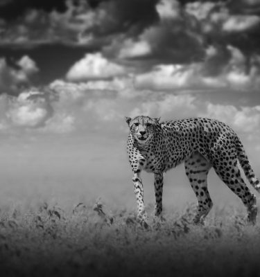 Wildlife art - Leopard