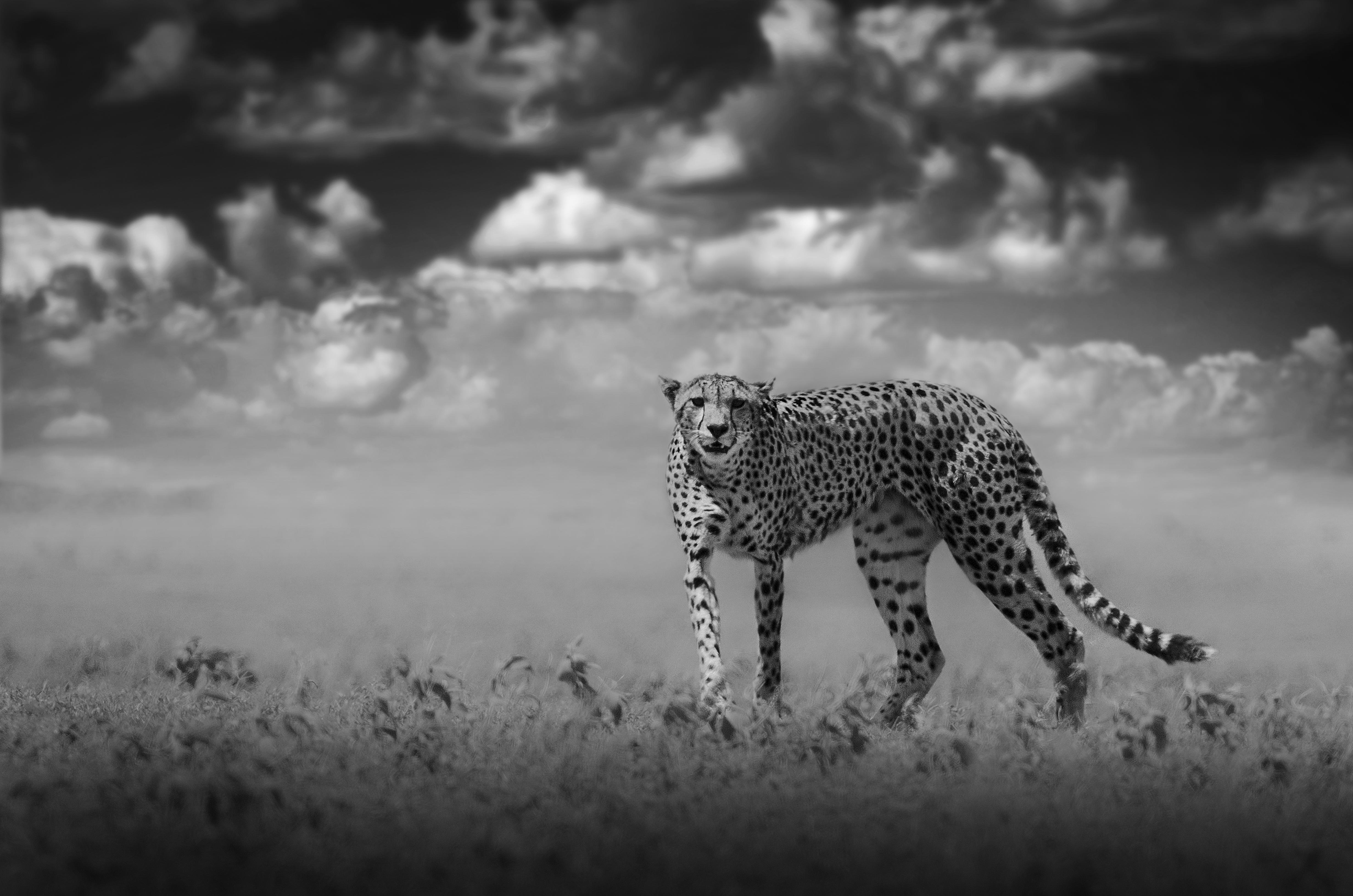 Wildlife art - Leopard